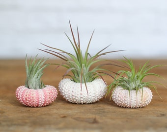 Pink Sea Urchin Air Plant Kit - FREE SHIPPING!