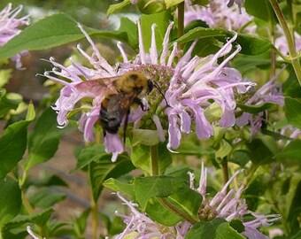100 Seeds, Monarda fistulosa, bees, beekeeping, Honey