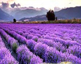 1 oz (30ml)   CLASSIC LAVENDER Fragrance Oil - Fresh lavender 40/42 EO type fragrance oil is very well rounded with soft flowery notes
