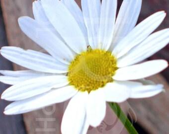 Happy Daisy, Digital Download, Photograph, Print, Flower, Office Decor, Home Decorating, Digital, JPG, Blossom, Romance, Wall Art