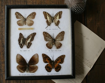 Real Framed Butterflies Natural History Display Scientific Entomology Butterfly Collection
