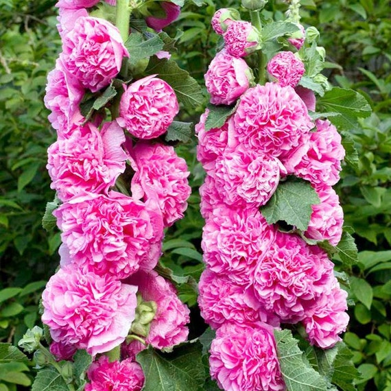 Hollyhock Garden: Hollyhock Seeds DOUBLE HOT PINK Double Peony-Like Flowers