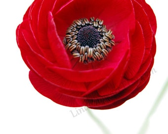 Red Flower wall art, Red, Red Ranunculus, bedroom decor, Home decor