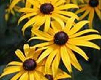 100 Seeds Black eyed Susan * Perennial!!