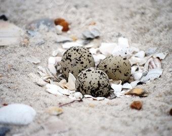 Snowy Plover Nest with Eggs on Beach Photo // Bird Nest Photograph // Bird Eggs Print