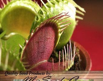 VENUS FLY TRAP Seeds - Carnivorous Dionaea Muscipula Flower Seeds - Fresh Seeds Harvested This Season