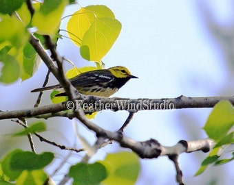 Black Throated Green Warbler Nature Photography Birding Spring Plumage Bird Watcher Decor Photo Art Gift For Birder Bird Watching Art Print