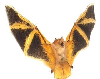Taxidermy Bat Painted Bat - Fire Bat, Kerivoula Picta