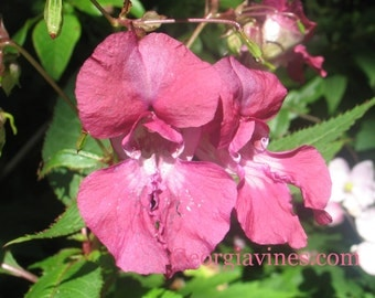 Impatiens glandulifera Himalayan Balsam Red Wine 10 seeds