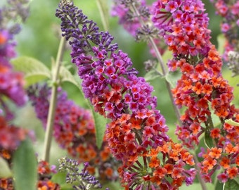 Buddleia weyeriana Bicolor | Gorgeous Butterfly pint Plant