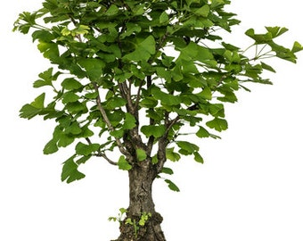 Bonsai - MAIDENHAIR TREE - Ginkgo Biloba