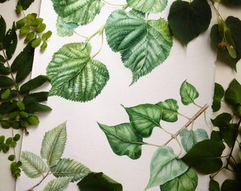 Watercolor botanical illustration: leaves.