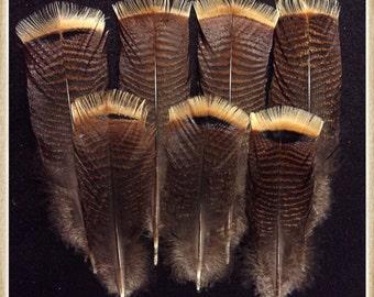 "7 - 7"" to 10 1/4"" turkey tail feathers from a Kansas Rio wild turkey"