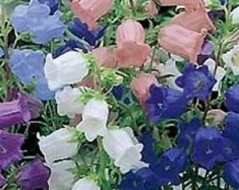 Campanula Canterbury Single Bells Mix Flower Seeds / Perennial  50+
