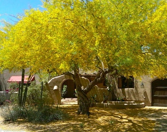Order 10 Palo Verde Tree Seeds By The End of Today for FREE Shipping in U.S.A.