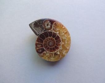 Fossil brown Ammonite 47x40 mm
