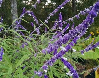 Mexican Bush Sage - Beautiful Purple & White Bloom