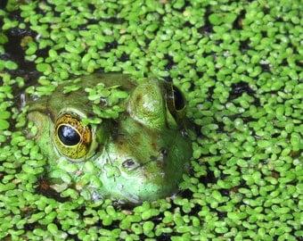 Nature Photography - Bullfrog Print