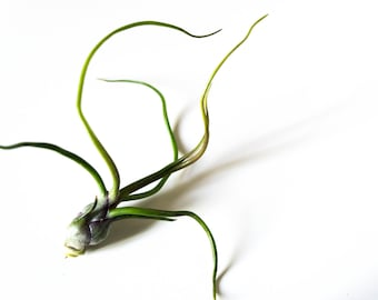 Tillandsia Bulbosa // Air Plant // For Wire Quote Holder