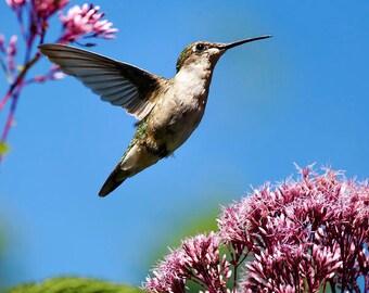 Photo Print, Humming bird Art, Nature Photography, Hummingbird Print, Wildlife Nature Photo, Bird Picture, Blue Wall Art, Summer Decor