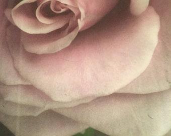 Lavendar  rose petals