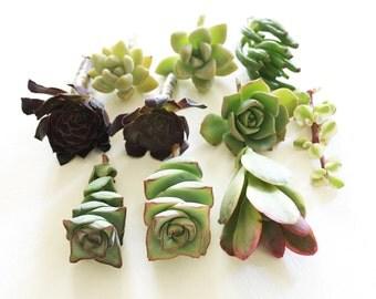 """10  Succulent Cuttings (2"""" - 4"""")"""