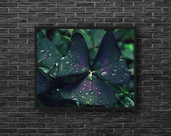 Shamrock Photo - Water Drops - Leaf Photo - Botanical Photo - Green and Purple - Paper Photo Print - Botanical Wall Art - Botanic Wall Decor