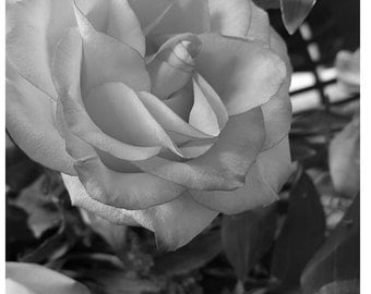 "4""x6"" Rose print in black and white - matted & framed"