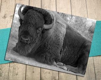"Majestic Repose Fine Art Postcard, Bison, Buffalo, Wildlife, Alone, Relaxation, Nature, Outdoors, Prairie, Postcrossing- 5.75"" x 4.125"""