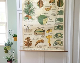 1953 Pine Life Cycle Classroom Chart by New York Scientific Supply Co., Large, Hangs from Wooden Dowels, Beautiful Vintage Illustrations