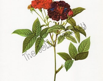 Vintage Redoute Rose Print, Red, Burgundy, and Green, Botanical Book Plate, Art Print, Pierre Joseph Redoute 1978