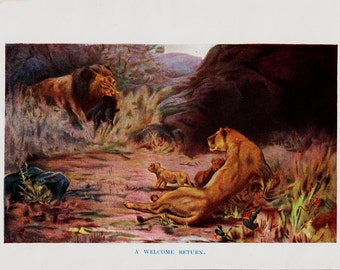 1909 Antique print of lion and lioness, cubs,. + 100 years older
