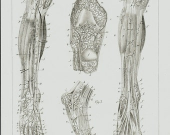 1834 Antique ANATOMY print, superficial veins of the legs