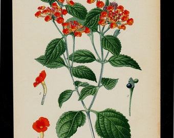 1896 Botanical Antique print, flower print, lovely chromolithograph of a big-sage,  wild-sage, red-sage, white-sage