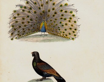 1839 Antique BIRD print of lovely Peacock and grouse, antique hand colored ornithology print, vivid colors