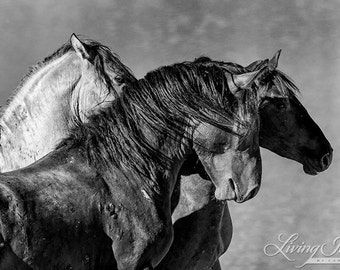 Three Bachelor Stallions at the Waterhole - Fine Art Wild Horse Photograph - Wild Horse - Pryor Mountains