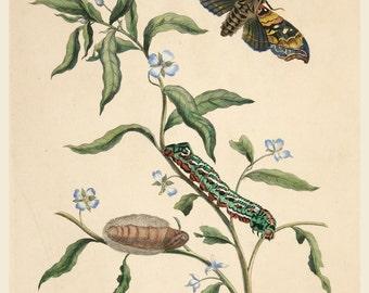 European Master Print and Drawing Reproductions:  Plate 39 from Metamorphosis Insectorum Surinamensium by Maria Merian, 1705. Fine Art Print