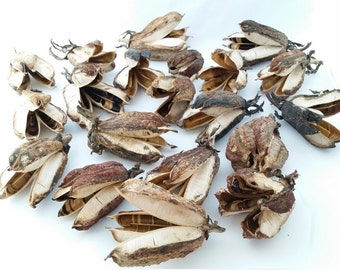 Yucca Seed Pods Natural Seed Pods Craft Supplies Wreath Making Floral Decorating Weddings Centerpieces