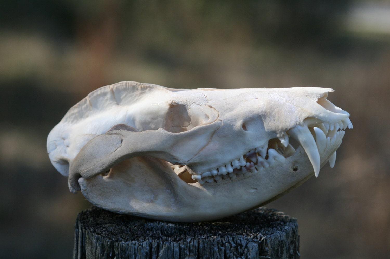 Opossum Skull 004