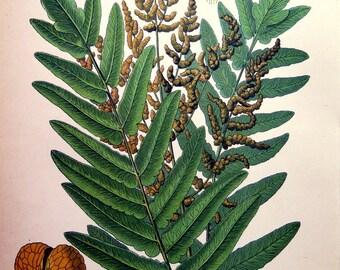 1886 Antique color lithograph of FERN,  vintage plants PRINT, botany  royal fern engraving, flower flowering botany illustration plate.