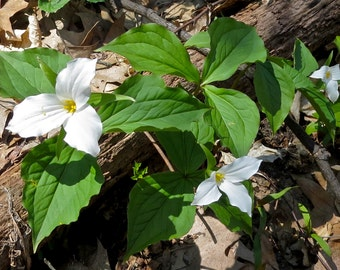Great Lakes, Photography, Nature, Spring, Trillium, Wildflower, Flower, White, Green, Wall Art, Forest, Bloom, Fine Art Print, Warren Dunes