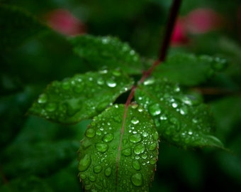 Droplets and Leaves (Print)