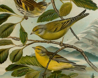 "1900 Antique lithograph of SISKIN BIRDS. Songbirds. Yellow Birds. Ornithology print. 117 years old print. 14.8"" x 10.9"" inches"