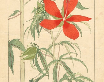 "Japanese antique woodblock print, Hisui Sugiura, ""Hibiscus coccineus"" from ""Hisui Hyakku-fu (Album of One Hundred Flowers)"""