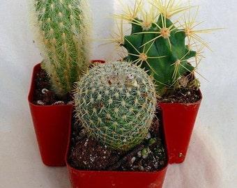 "Instant Cactus Collection - 3 Plants - 2"" Pots - Excellent for Fairy Gardens"
