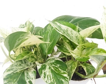 """Two Marble Queen Devil's Ivy - Pothos - Epipremnum 4"""" Pot (FREE SHIPPING!)"""