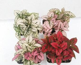 Three Polka Dot Plant in 2.5'' Pot