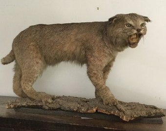 """Antique Hissing Snarling Genuine Bobcat 36"""" L Full Body Mount Wildlife Taxidermy Hunting Halloween Decor Prop Man Cave Mounted on Bark"""