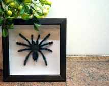 Real tarantula taxidermy specimen Avicularia geroldi / boxed bird eating spider / framed insect preserved tarantula real spider framed bug