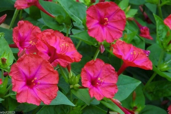 100 Four O'Clock Seeds - Red (Mirabilis Jalapa) Perennial, Thrive in all zones.